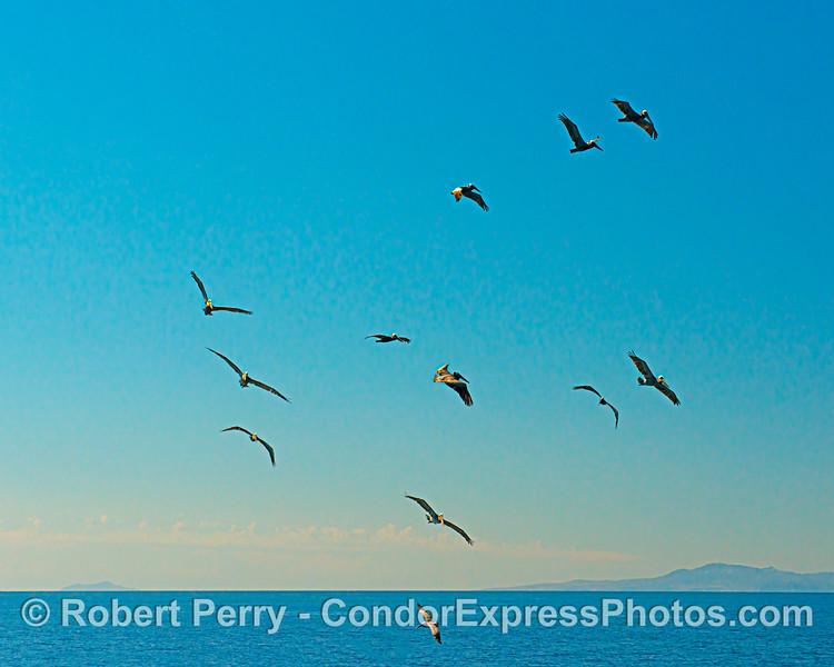 Brown pelicans circling around a near surface bait ball hot spot.