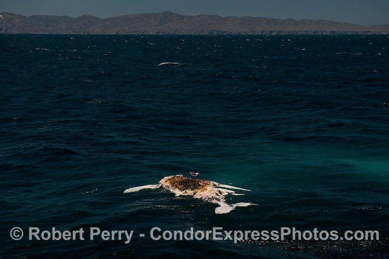 Dead humpack whale - carcass with gull.