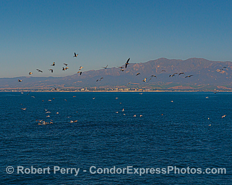 A small hot spot with brown pelicans off the UCSB coast.