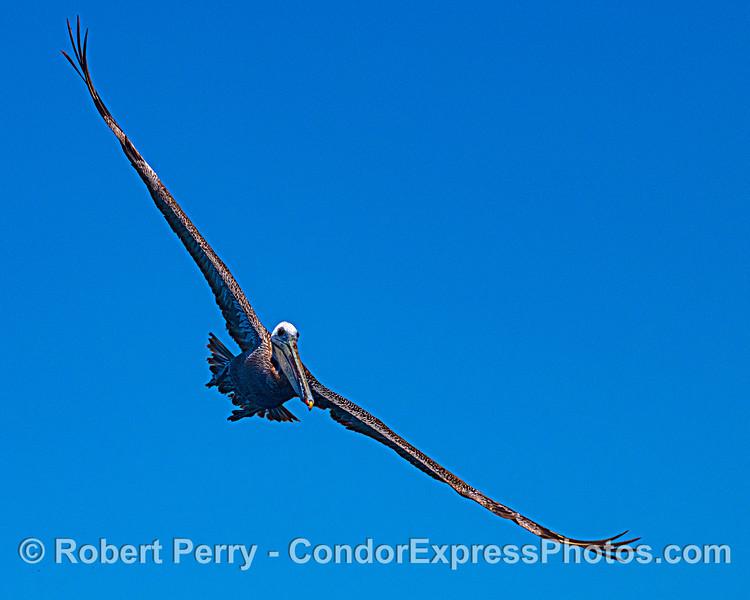 Brown pelican portrait.