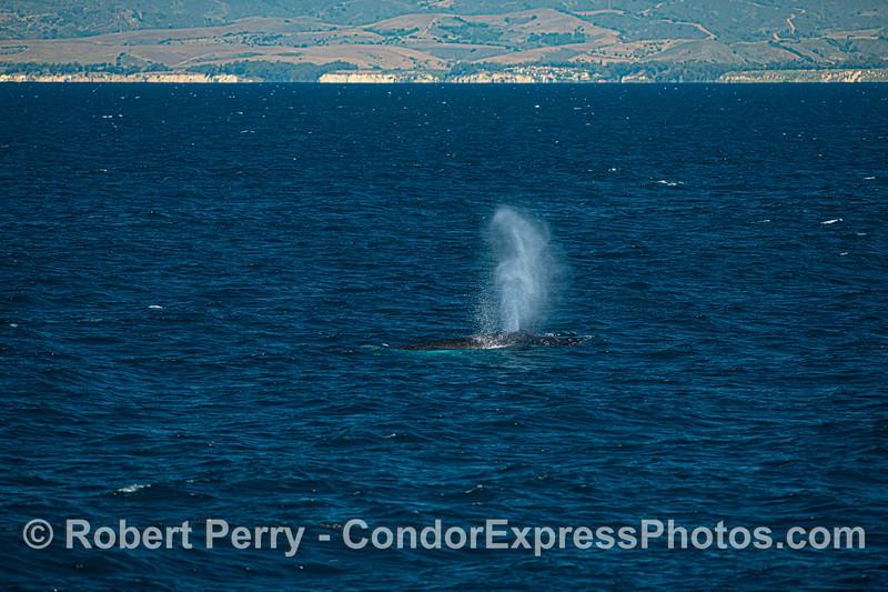Humpback whale near the Santa Barbara coast.