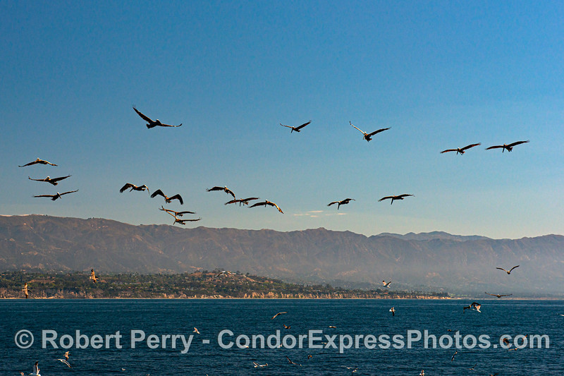 Brown pelicans suspended in the air - on the hunt.