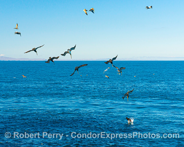 Brown pelicans diving on a near surface aggregation of anchovies.