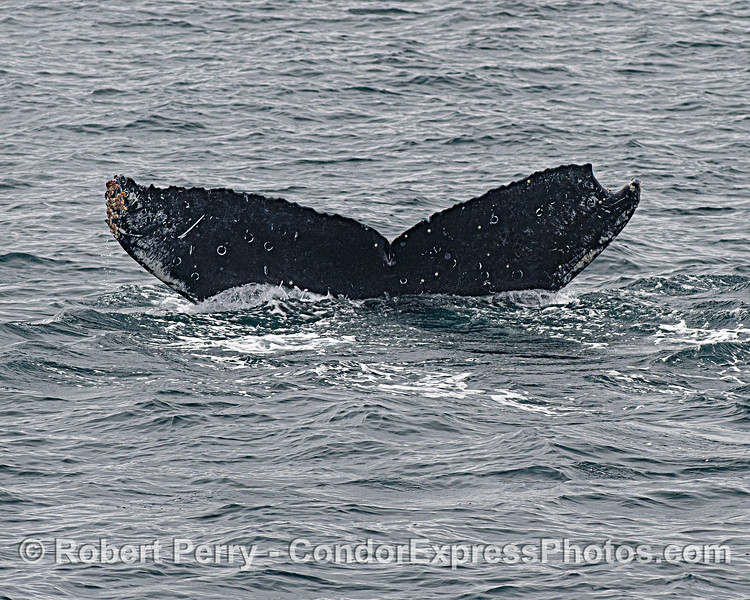 An adult female humpback whale with a crescent piece of tail fluke missing. This is the mother of the calf shown with a severe tail deforminty.
