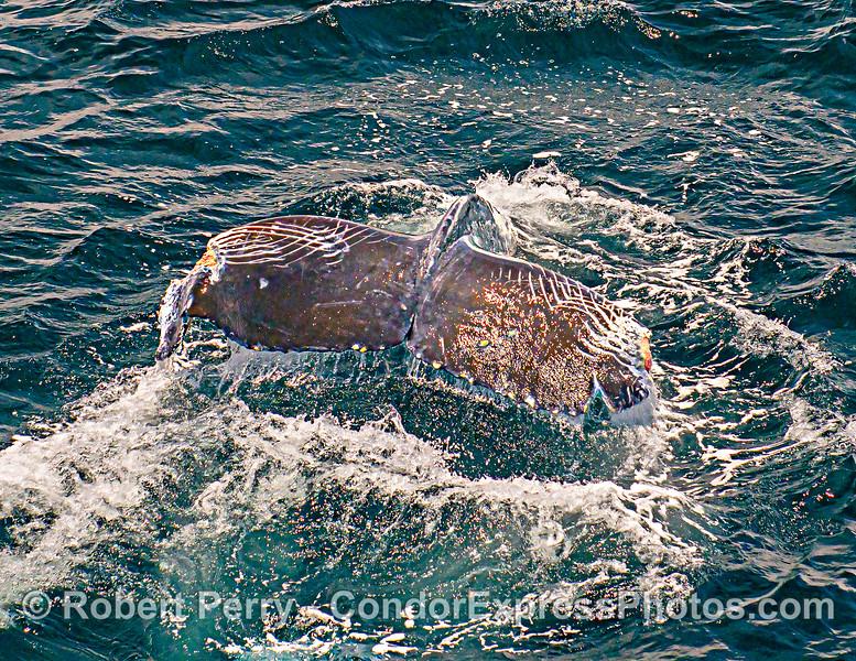 Megaptera novaeangliae Orca rakes deformed tail 2021 06-24 SB Channel-b-051