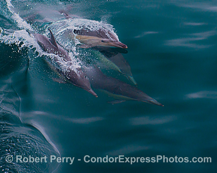 Delphinus capensis 2021 06-24 SB Channel-b-002