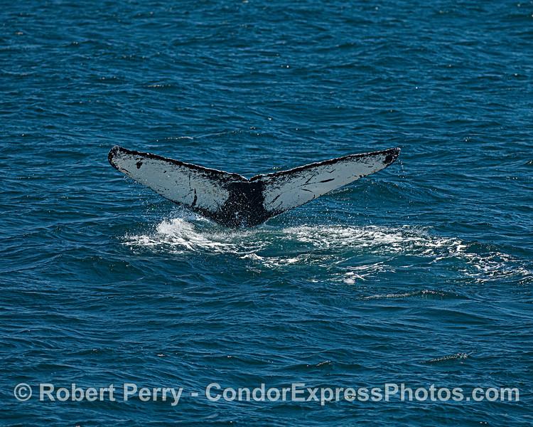 Humpback whale Barley ID CRC-11682