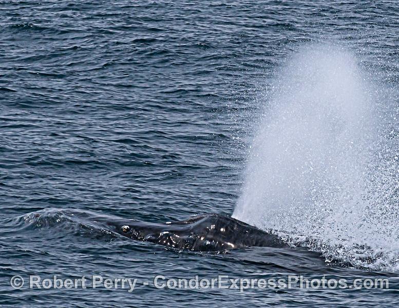 Rostrum and spout -  humpback whale close up