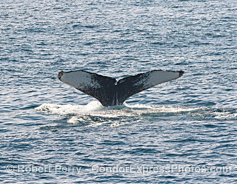 Humpback Whale Gollum. Id CRC-9007 Sex Male. Also known as: CCN-Mn024, SPLASH-450052. First recorded in 2000. Sightings include Santa Barbara Channel (14), Monterey CA (2), and Nicaragua (2). source=HappyWhale.com