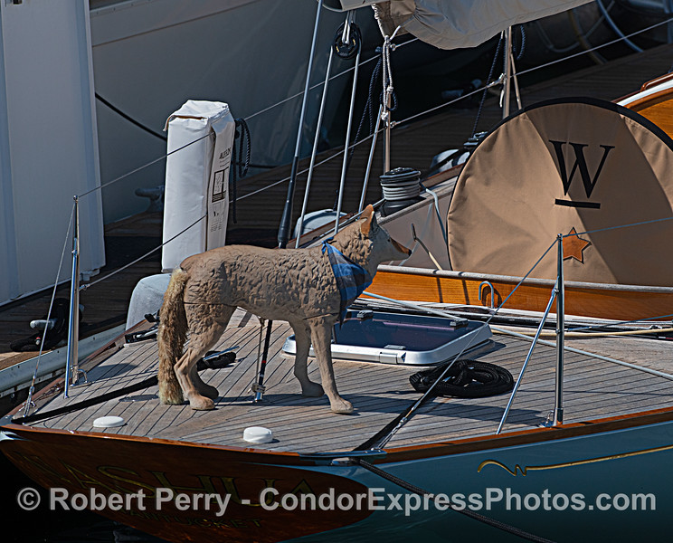 """Coyote. A plastic """"scarecrow"""" replica that scares pooping birds away from yachts."""