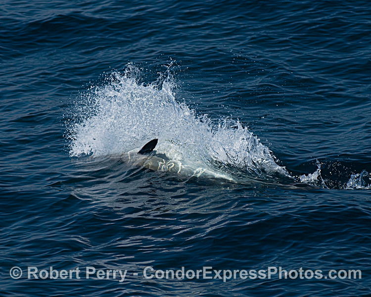 Spray patterns from a surface feeding long-beaked common dolphin.
