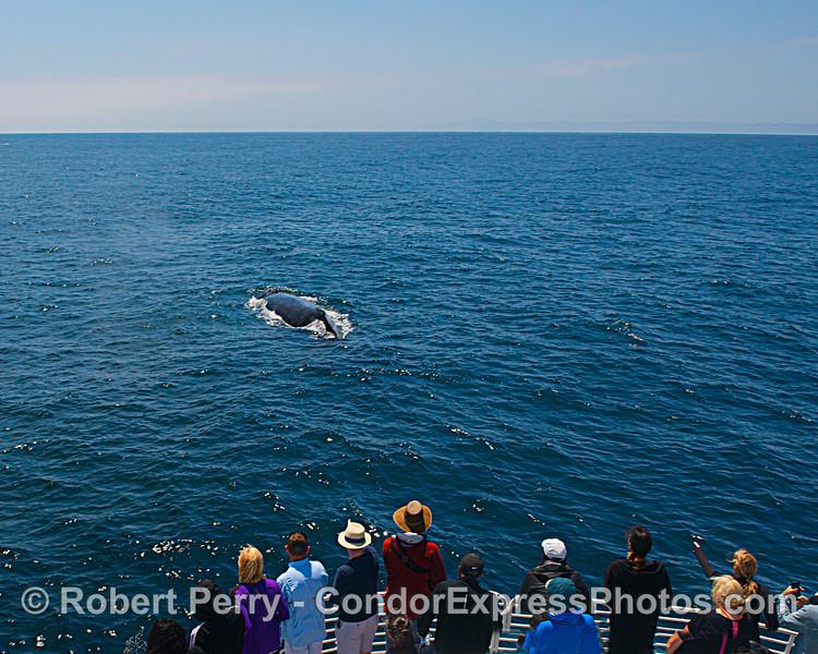 Humpack whale and its fan club