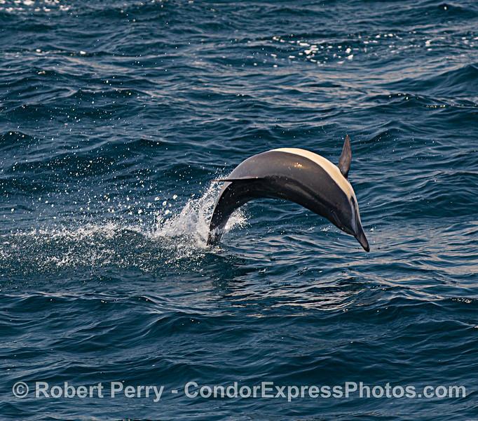 Delphinus delphis 2021 08-11 SB Channel--033