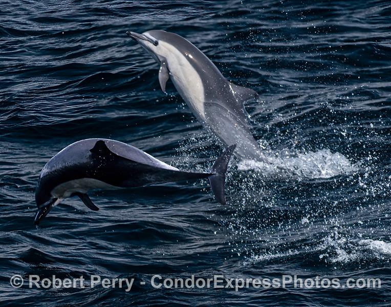 a-Delphinus delphis tail walk 2021 08-11 SB Channel--022