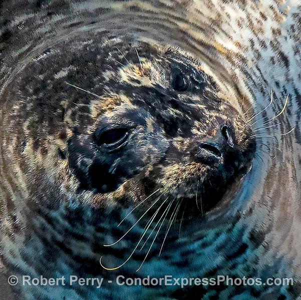 Phoca vitulina on bait barge HEAD SHOT 2021 08-12 SB Harbor -023