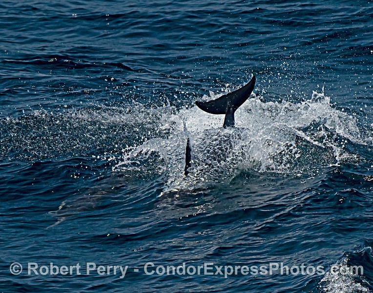Delphinus capensis FINS 2021 08-12 SB Channel -409