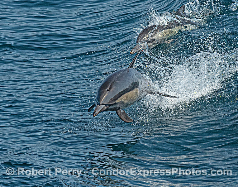 Delphinus capensis 2021 08-12 SB Channel -011