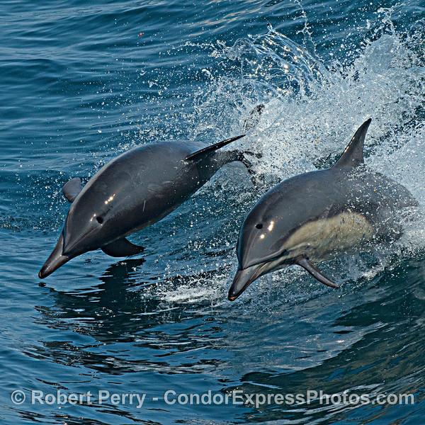 Delphinus capensis 2021 08-12 SB Channel -073