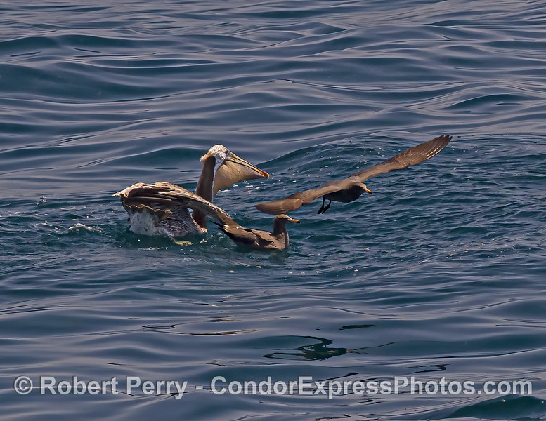Pelicanus occidentalis & Larus heermanni interactions 2021 08-12 SB Channel -282