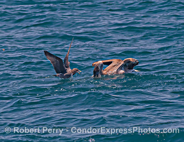 Pelicanus occidentalis & Larus heermanni interactions 2021 08-12 SB Channel -324