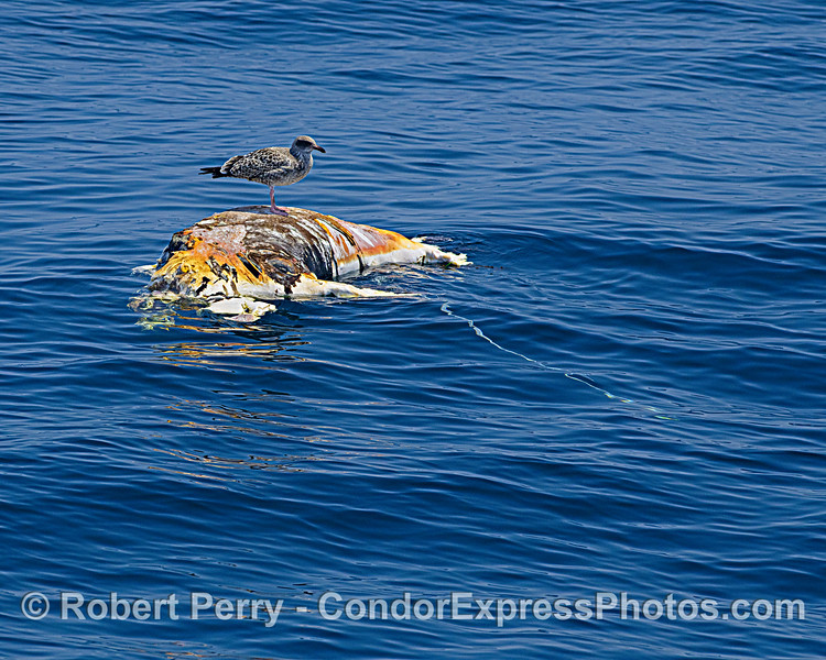carcass of decomposed Mirounga angustirostris & Larus 2021 08-13 SB Channel -West--005