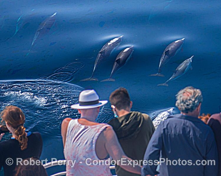 Delphinus capensis & passengers 2021 08-13 SB Channel -West-b-006