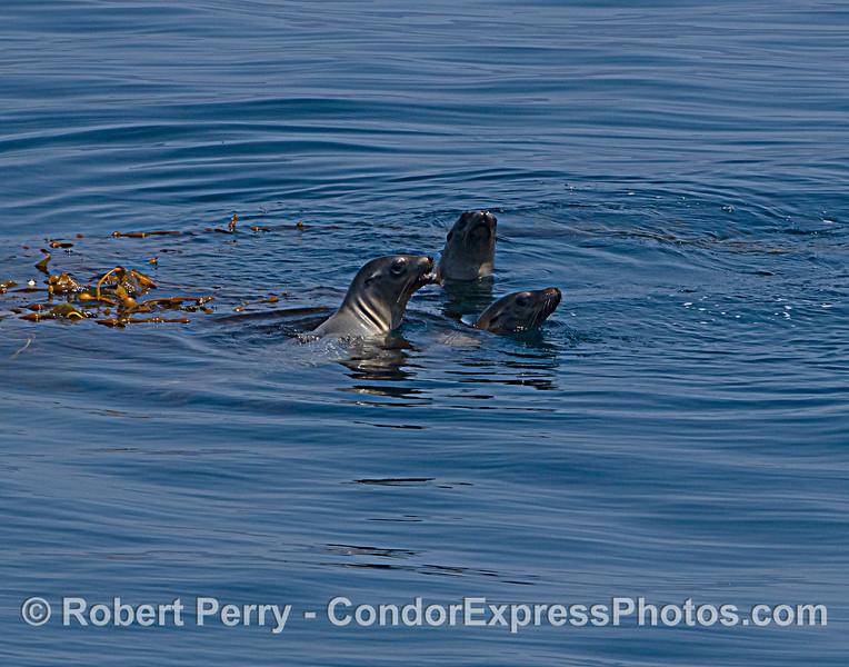 Zalophus californianus 3 rafting 2021 08-13 SB Channel -West--008