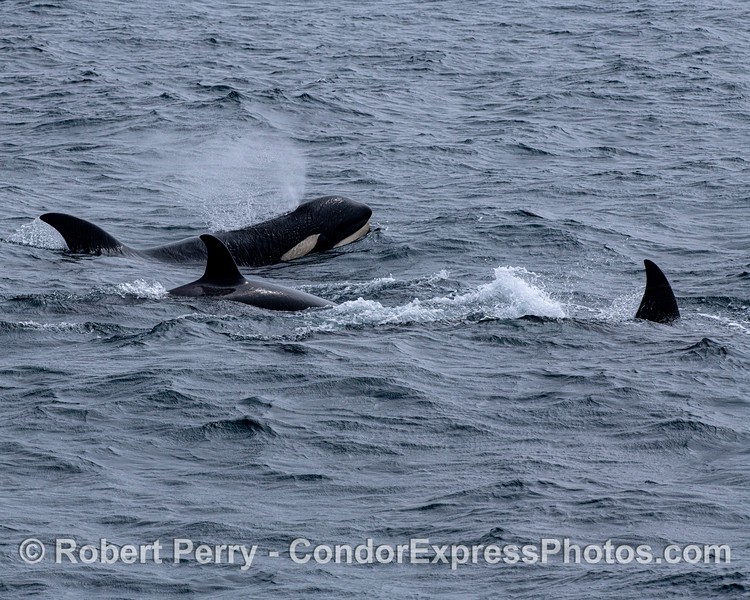 Killer whales. All three individuals that we watched as a group.