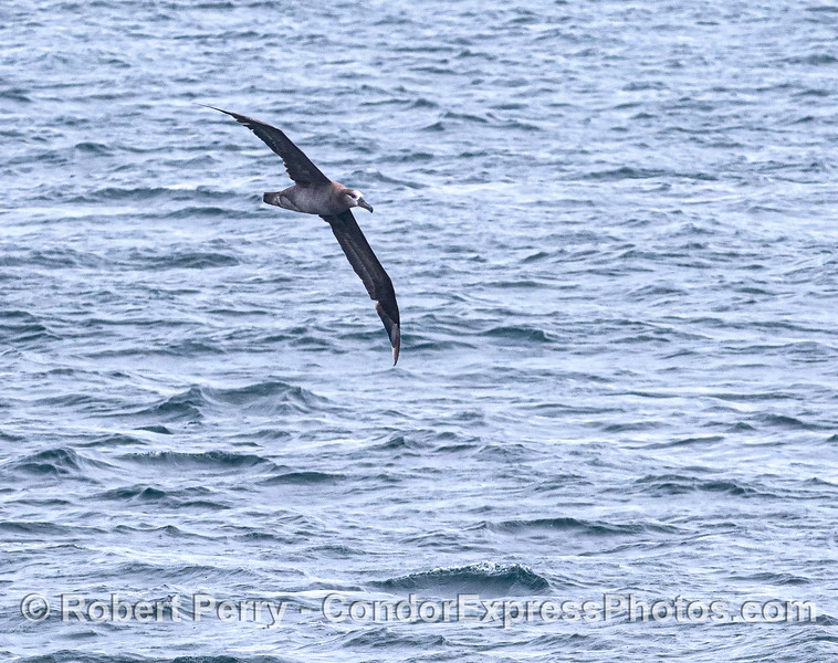 Black-footed albatross.