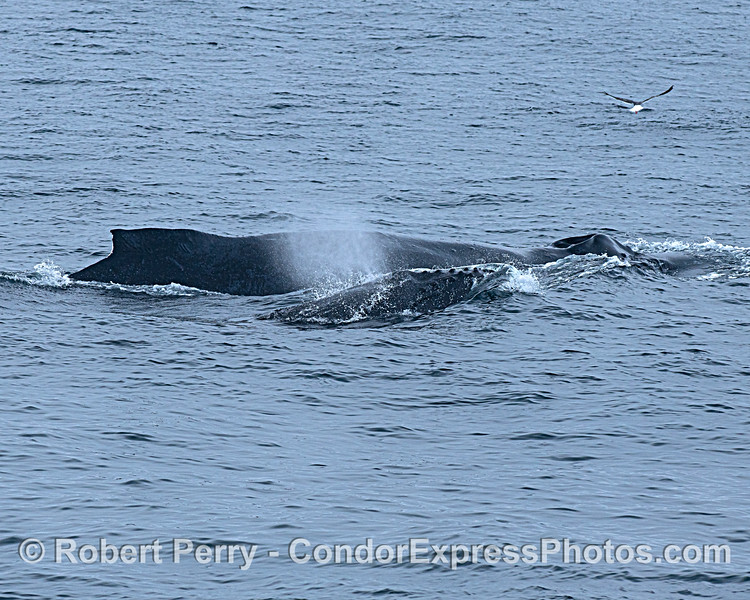 Humpback whales Chomper and her calf.