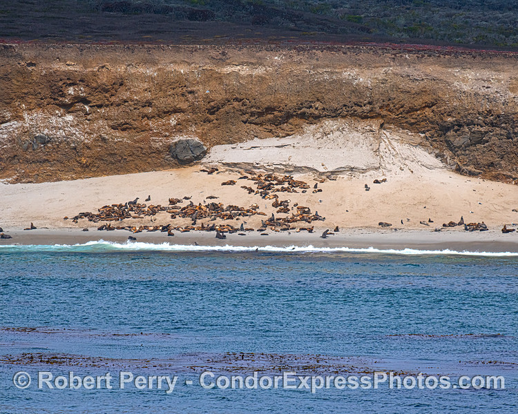 San Miguel Island. California sea lions and a few nothern elephant seals.