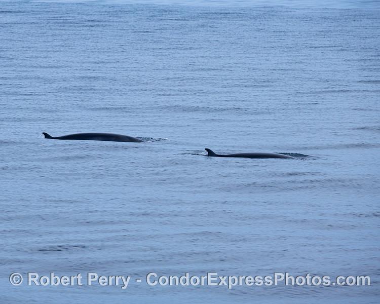 Minke whales. The pair.