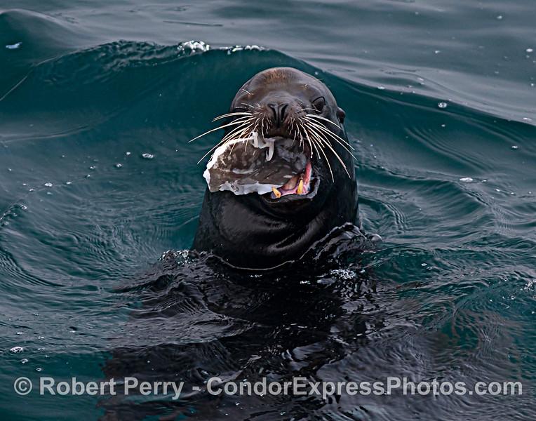 California sea lion. Eating an ocean sunfish, Mola mola.