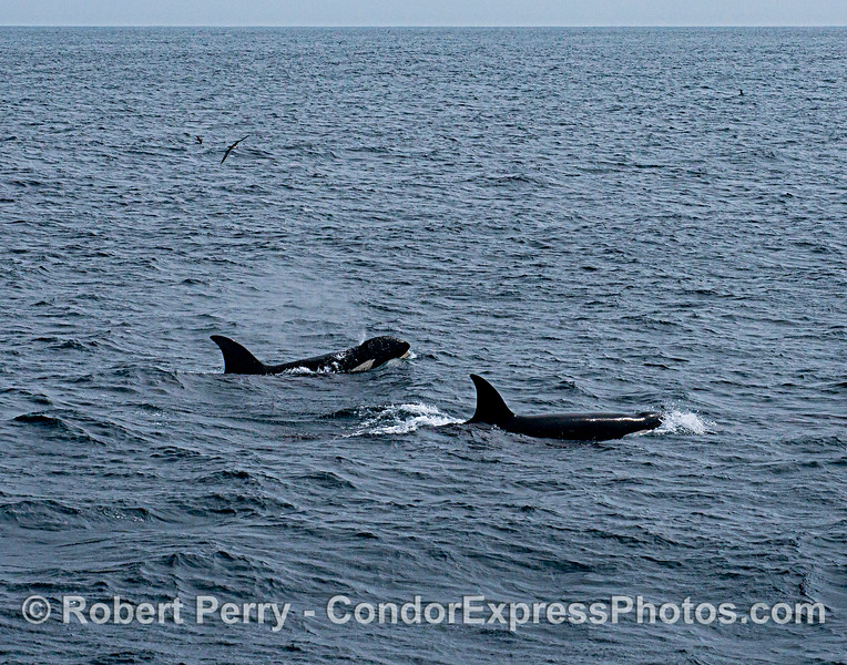 Killer whales.  Wide angle.