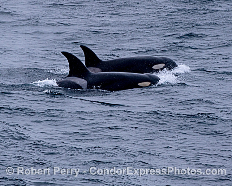 Killer whales.  Two.