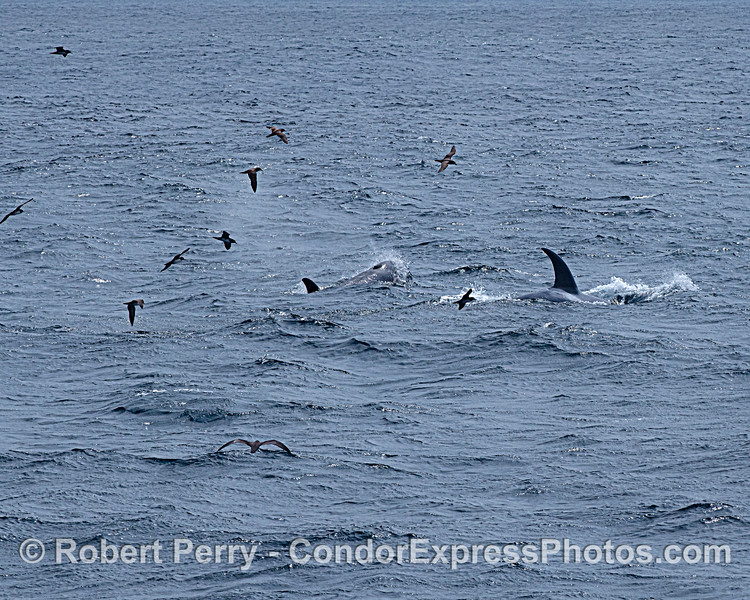 Killer whales. Disturbed previously resting-on-the-surface shearwaters.