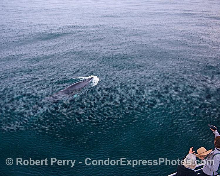 Minke whale. White stripe on pectoral fin is seen below the surface.