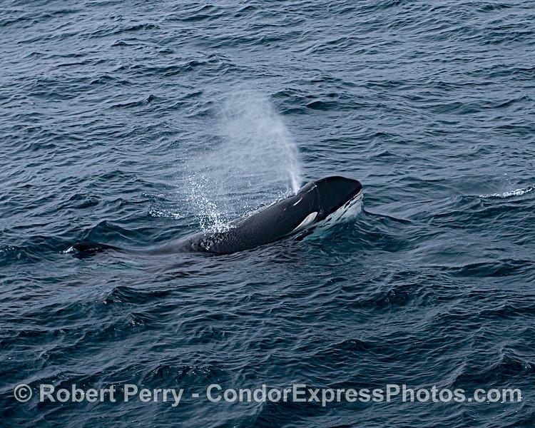 Killer whale. Spouting.