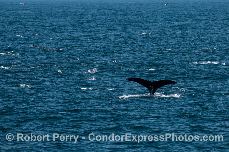 A humpback dives in an oceanic hot spot with sea lions and dolphins.