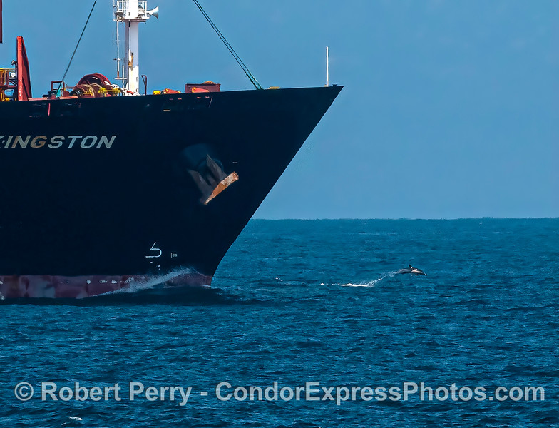A common dolphin riding the bow of a large cargo ship.