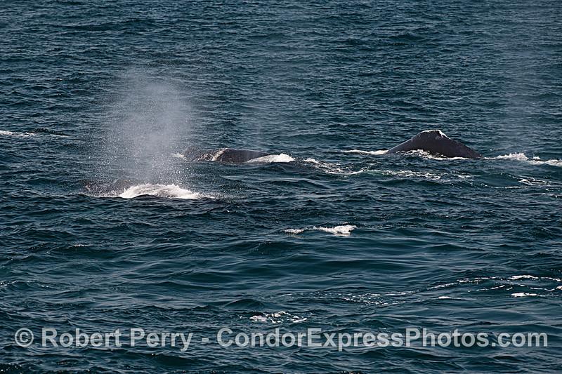 Three humpbacks.