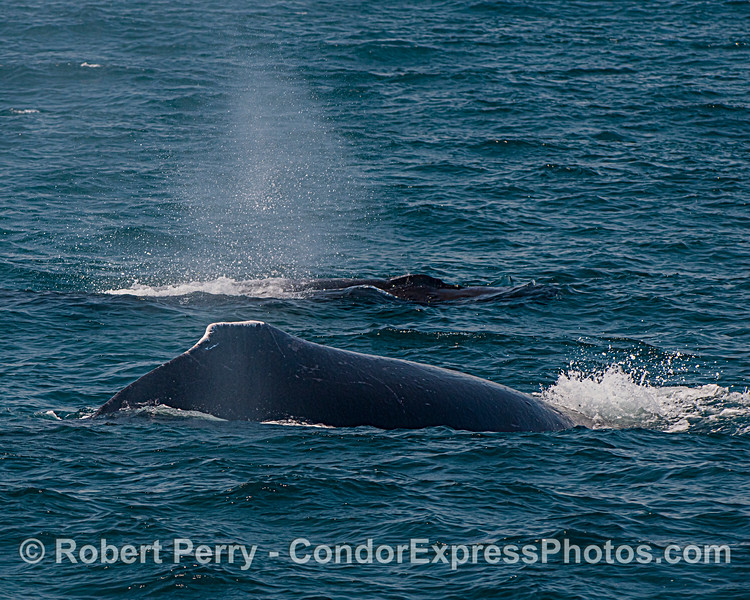 Two humpback whales side by side.