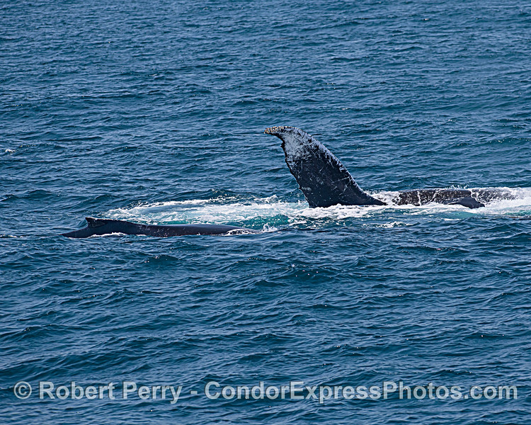 One half of a tail is visible as one humpback does a bit of rolling around near a second whale.