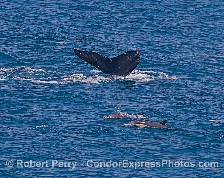 Humpback tail fluke and dolphins.
