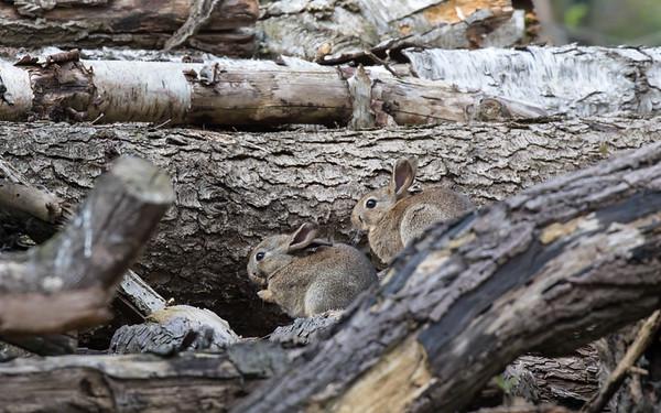 eibergen, konijn