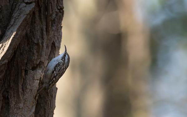 eibergen, boomkruiper