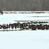 MET 021521 Geese