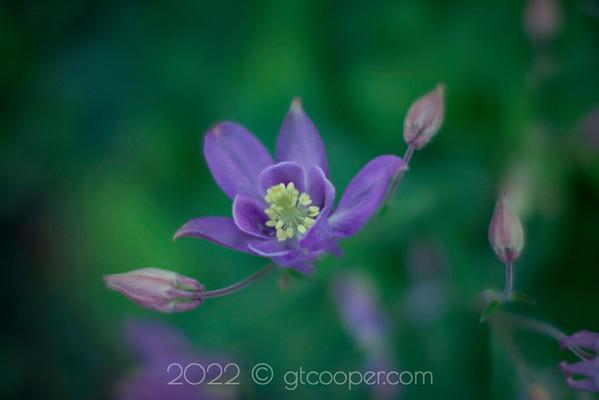 From the Garden — Columbine