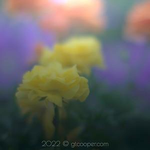 From the Garden — Marigold