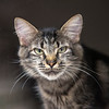 """210915  Pet of the Week<br /> James Neiss/staff photographer <br /> Sanborn, NY - Autumn is a lovable kitty, about 2 years old, that's looking for her forever home. As the newspaper Pet of the Week, the adoption fee is half off. <br /> <br /> Contact the SPCA at (716) 731-4368 or  <a href=""""http://www.niagaraspca.org"""">http://www.niagaraspca.org</a> for more information on how you can give a cat or dog their forever home."""